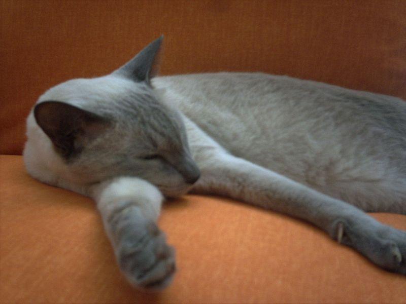 File:Sleeping Bluepoint cat.jpg