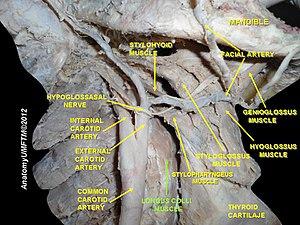 Longus colli muscle - Image: Slide 17aaa