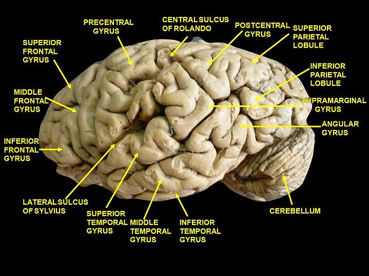 Inferior Frontal Gyrus Eanswers