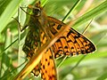 Small Pearl-bordered Fritillary - geograph.org.uk - 654236.jpg