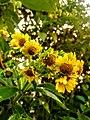 Smallanthus pyramidalis.jpg