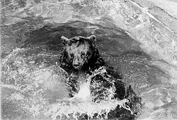 bear reclined in pool