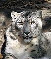 Snow Leopard Louisville Zoo.jpg