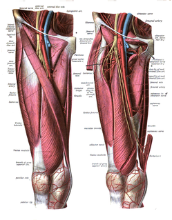 Femoral artery Large artery in the thigh