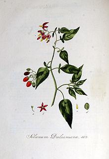 Solanum dulcamara — Flora Batava — Volume v6.jpg