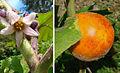 Solanum quitoense, the Naranjillo (11396994756).jpg