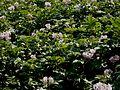 Solanum tuberosum RHu001.jpg