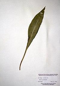 Solidago juncea BW-1979-0604-9973.jpg