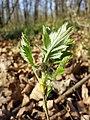 Sorbus domestica sl28.jpg