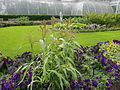 Sorghum Bicolor growing at Kew.jpeg