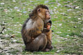 Southern pig-tailed macaque breastfeeding.jpg
