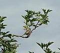 Sparrow (20161066061).jpg