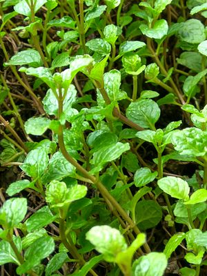 Spearmint - Spearmint in Bangladesh