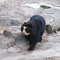Spectacled Bear Tennoji 2.jpg