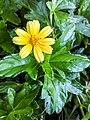 Sphagneticola trilobata ( Asteraceae) 04.jpg
