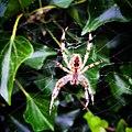 Spiders JIHI 027.jpg