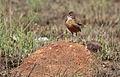 Spike-heeled lark, Chersomanes albofasciata, at Suikerbosrand Nature Reserve, Gauteng, South Africa (22644390875).jpg