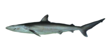 Spinnershark.png