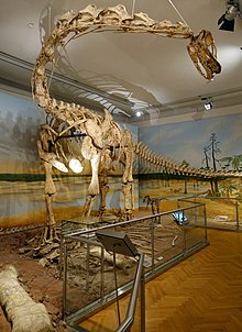 Large, long-necked dinosaur skeleton in a museum