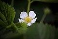 Spring-strawberry-blossom-flower - West Virginia - ForestWander.jpg