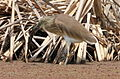 Squacco Heron, Ardeola ralloides at Marievale Nature Reserve, Gauteng, South Africa (15456527608).jpg