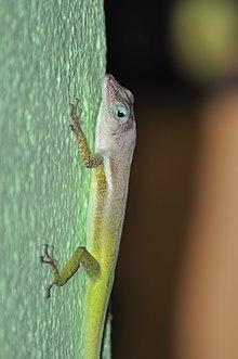 St.Lucia tree lizard (Anolis Luciae).jpg