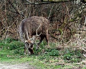 Arne RSPB reserve - Sika deer stag at Arne RSPB reserve