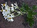 Starr-020103-0011-Montanoa hibiscifolia-profile plant-old Kula Rd-Maui (24250016760).jpg