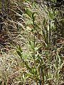 Starr-031013-0017-Acacia mangium-small trees-Hamakuapoko-Maui (24647383766).jpg
