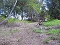 Starr-040403-0033-Schinus terebinthifolius-cut logs-Kanaha Beach-Maui (24405336970).jpg