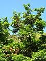 Starr-060306-6647-Syzygium malaccense-flowers-Hana Hwy-Maui (24740452752).jpg