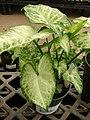 Starr-080117-1518-Syngonium podophyllum-habit-Walmart Kahului-Maui (24273177383).jpg