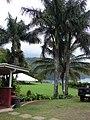Starr-090505-7394-Roystonea regia-habit-YMCA Keanae-Maui (24928163486).jpg