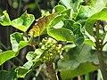 Starr-090610-0563-Jatropha curcas-leaves and flowers-Haiku-Maui (24963918025).jpg