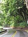Starr-090618-1127-Aleurites moluccana-grove and winding road-Honomanu Hana Hwy-Maui (24939412306).jpg