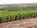 Starr-090714-2672-Coffea arabica-crop-Kaanapali-Maui (24851550242).jpg