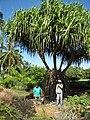 Starr-091104-0751-Pandanus tectorius-habit with Mike and Forest-Kahanu Gardens NTBG Kaeleku Hana-Maui (24894226091).jpg