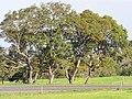 Starr-110131-0428-Jacaranda mimosifolia-habit-Kula-Maui (24778017470).jpg