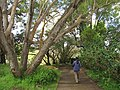 Starr-110307-2161-Jacaranda mimosifolia-habit with Kim-Kula Botanical Garden-Maui (24447057284).jpg