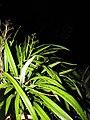 Starr-110422-5197-Dianella sandwicensis-habit at night-Hawea Pl Olinda-Maui (24452203274).jpg