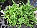 Starr-110502-5320-Dianella sandwicensis-seedlings in greenhouse origin Makawao Forest Reserve-Olinda Rare Plant Nursery-Maui (24467401123).jpg