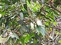 Starr-110629-6447-Syzygium jambos-flowers and leaves not much rust now-Ulupalakua-Maui (24470739993).jpg
