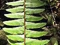 Starr-111012-0883-Nephrolepis exaltata-sori-Kahana-Maui (25025664981).jpg