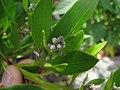Starr-120412-9332-Conocarpus erectus-leaves and fruit forming-Waihee Coastal Preserve-Maui (24507684704).jpg