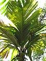 Starr-120522-5980-Pelagodoxa henryana-frond-Iao Tropical Gardens of Maui-Maui (24516134873).jpg