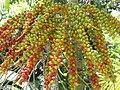 Starr-120522-6422-Ptychosperma macarthurii-fruit-Iao Tropical Gardens of Maui-Maui (25117345966).jpg