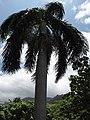 Starr-120522-6655-Roystonea regia-habit-Iao Tropical Gardens of Maui-Maui (24848394110).jpg