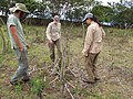 Starr-120608-7308-Cenchrus purpureus-plantings with Jacob Diana and Kim-Ulupalakua Ranch-Maui (25118946466).jpg