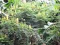 Starr-130319-2804-Caesalpinia decapetala-flowering habit along road-Quarry Beach Rd-Kauai (24912570720).jpg