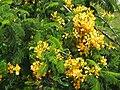 Starr-170913-0123-Delonix regia-yellow flower form-CTAHR Urban Garden Center Pearl City-Oahu - Flickr - Starr Environmental.jpg